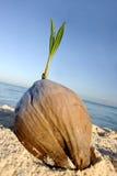 Semenzale della noce di cocco Fotografia Stock Libera da Diritti