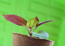 Semenzale della pianta in POT della torba Immagini Stock