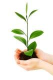 Semenzale verde Fotografie Stock