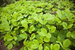 Semenzale verde del fagiolo della soia Fotografie Stock Libere da Diritti