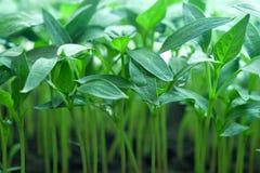Semenzale verde di pepe Immagine Stock