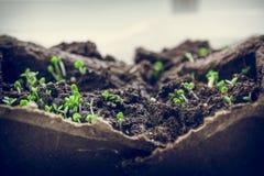 semenzali Immagini Stock