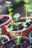 Semenzali conservati in vaso Fotografia Stock Libera da Diritti