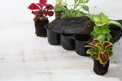 Semenzali dei fiori Fotografia Stock
