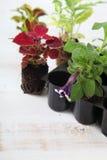 Semenzali dei fiori Immagine Stock Libera da Diritti