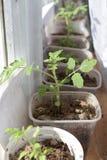 Semenzali del pomodoro Fotografia Stock