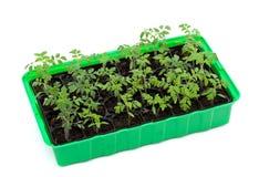 Semenzali del pomodoro in cassetto di germinazione fotografie stock libere da diritti