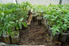 Semenzali del pomodoro Pomodori crescenti nella serra fotografia stock libera da diritti