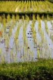 Semenzali del riso Immagine Stock Libera da Diritti