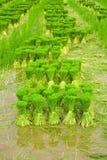 Semenzali del riso. Fotografia Stock Libera da Diritti