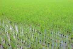 Semenzali del riso Fotografia Stock