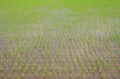 Semenzali del riso Fotografie Stock