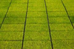 Semenzali del riso Fotografie Stock Libere da Diritti