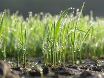 Semenzali del riso con le gocce di rugiada sul primo mattino Fotografie Stock