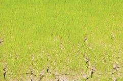 Semenzali del riso in incrinato Fotografia Stock Libera da Diritti