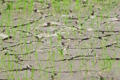 Semenzali del riso in un campo di risaia incrinato e asciugato Immagini Stock Libere da Diritti