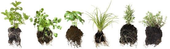 Semenzali dell'erba Immagine Stock Libera da Diritti