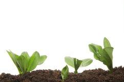 Semenzali della pianta giovane Fotografie Stock