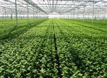 semenzali in serra Fotografia Stock Libera da Diritti