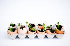 Semenzali verdi che crescono dal terreno nelle coperture dell'uovo Fotografia Stock Libera da Diritti
