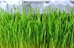 Semenzali verdi dei raccolti del cereale Immagini Stock Libere da Diritti