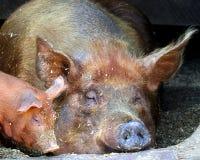 Semez le porc avec le porcelet Photo libre de droits