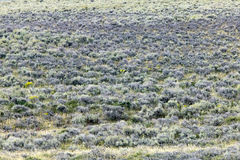 Semi arid field landscape in southwest Wyoming. A semi arid field landscape in southwest Wyoming with low lying shrubs and bushes Royalty Free Stock Image