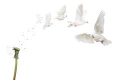 Semi boken isolated dandelion and flying doves Royalty Free Stock Image
