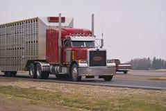 Semi caminhão que puxa um reboque dos rebanhos animais Imagem de Stock