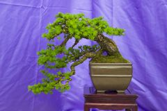 A Cascade Larch Bonsai combination in training in Northern Ireland and on display at the Belfast spring festival at Barnetts Demes stock photo