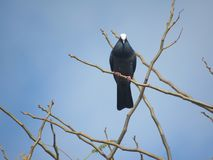 White Crowned Pigeon perched on a twig. Semi close-up straight-on shot of a White Crowned Pigeon perched upon the twig of an exotic plant in front of a grayish Stock Photos