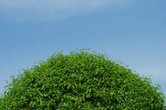 Semi cone green tree in blue sky. The green tree canopy is like a semi cone,   the green leaves in blue sky Stock Images