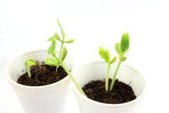 Semi crescenti della pianta nel suolo del vaso isolato su fondo bianco Fotografie Stock