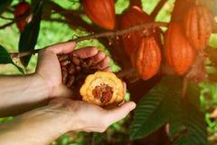 Semi del cacao della tenuta dell'agricoltore Fotografia Stock