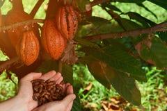 Semi del cacao di manifestazione dell'agricoltore Immagine Stock
