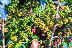 Semi del caffè Fotografia Stock Libera da Diritti