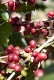 Semi del caffè sugli arbusti, in una piantagione in Tailandia del Nord Fotografia Stock Libera da Diritti