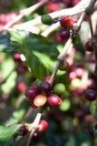 Semi del caffè sugli arbusti, in una piantagione in Tailandia del Nord Immagini Stock
