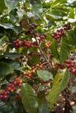 Semi del caffè sugli arbusti, in una piantagione in Tailandia del Nord Immagine Stock Libera da Diritti