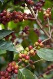 Semi del caffè sugli arbusti, in una piantagione in Tailandia del Nord Fotografie Stock