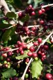 Semi del caffè sugli arbusti, in una piantagione in Tailandia del Nord Immagini Stock Libere da Diritti