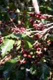Semi del caffè sugli arbusti, in una piantagione in Tailandia del Nord Immagine Stock