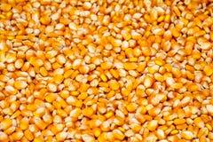 Semi del cereale Immagini Stock Libere da Diritti