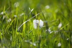 Semi del dente di leone con la rugiada di mattina nel campo verde in primavera fotografia stock