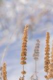 Semi del foeniculum del Agastache immagini stock libere da diritti