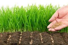 Semi del frumento e la loro pianta Immagine Stock Libera da Diritti