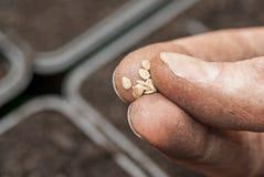 Semi del pomodoro della semina in suolo. Fotografie Stock