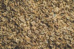 Semi del primo piano dei semi di finocchio immagine stock