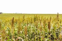 Semi del sorgo coltivato fotografia stock libera da diritti