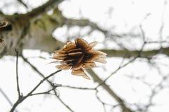 Semi dell'acero nell'albero circa da cadere, sotto forma di elicottero immagine stock libera da diritti